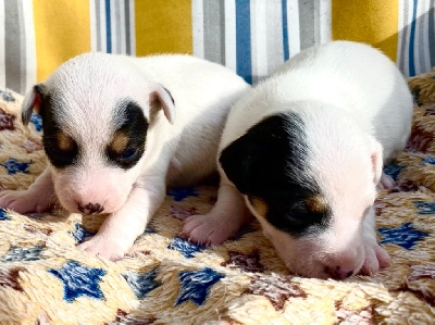 Parson Russell Terrier - Chiots Parson Russells  - Of Puppydogs Tails