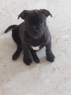Staffordshire Bull Terrier - Chiots staffordhire bull terrier  - Stafford Black Forever