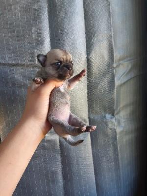 Chihuahua - Chiots chihuahua